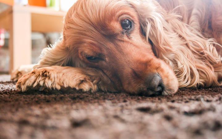 hellbrauner Hund liegt seitlich auf dem Boden