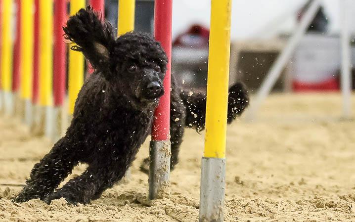 Hund läuft durch rot gelbe Stangen