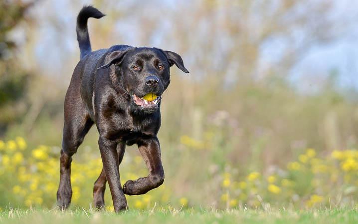 schwarzer Hund läuft mit Ball im Mund